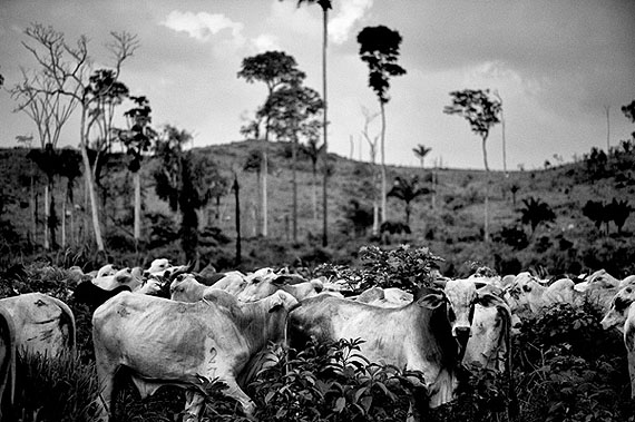 Kadir van LohuizenBrazil, Para state - October 2009. Santa Rosa, an illegal cow farm in the nature reserve 'Tera do Meio'.