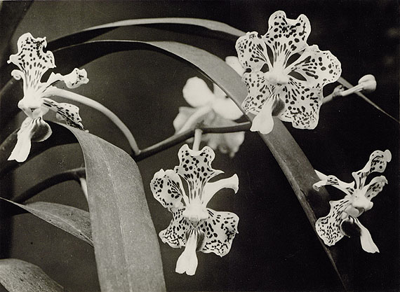 "Lot 4328 Albert Renger-Patzsch. ""Vanda tricolor"", 1924"