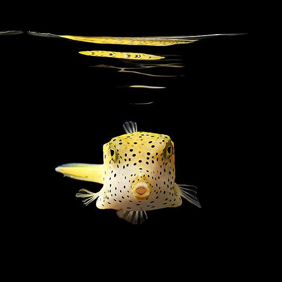 Mark Laita, Yellow Boxfish, 2010