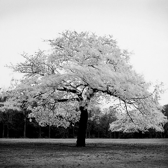 Cherry blossoms in Yoyogi Park enduring a spring wind, 1990, 35 x 35cm. gelatin silver, Ed. of 15© Toshio Enomoto/courtesy Micheko Galerie