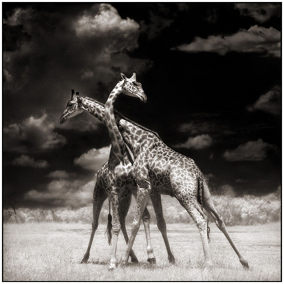 "Nick Brandt ""Giraffes Battling in Sun, Maasai Mara 2006""Edition of 25Digital Fine Art Print, signed and numbered"