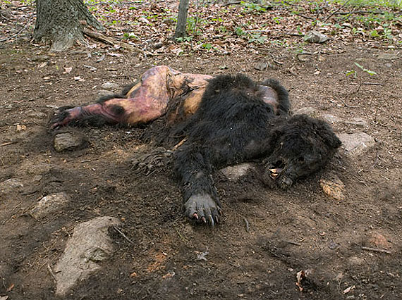 Bear, Poisoned by Neighbors, Kevin's Land, Virginia, 2008© Lucas Foglia