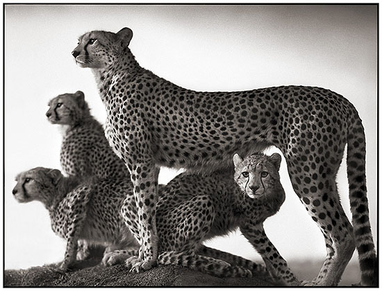 'Cheetah and Cubs'