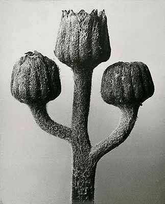 Karl Blossfeldt