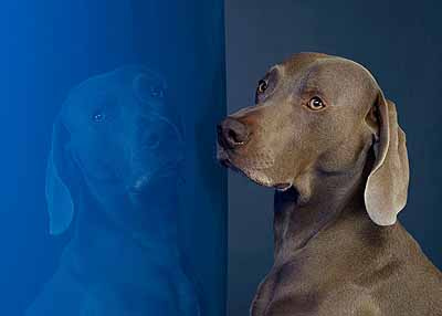 William Wegman (b. 1943) Malta 2005 pigment print 36 x 44 inches 91.4 x 111.8 cm Edition of 15