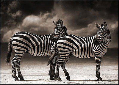 Portrait of Two Zebras Turning Heads, Ngorongoro Crater 2005 Archival Pigment Ink Print 111 x 152 cm (44 x 60 inches) Edition 3/8