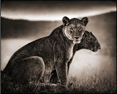 Sitting Lioness, Serengeti 2002 Archival Pigment Ink Print 100 x 120 cm (40 x 48 inches) Edition 4/8