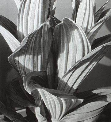 Imogen Cunningham, False Hellebore,1926 © The Imogen Cunningham Trust