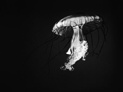 Christopher Williams, Pacific Sea Nettle, Chrysaora Melanaster, Long Beach Aquarium of the Pacific, 100 Aquarium Way, Long Beach, California, August 9, 2005, 2005 © C.Williams