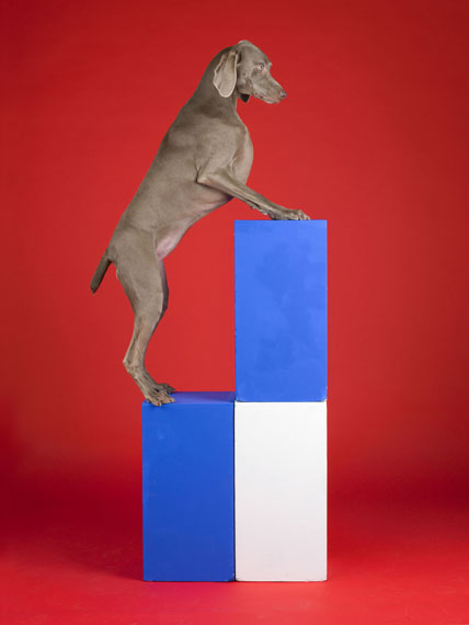 William Wegman, Blocked, 2014, pigment print, 43 1/2 x 33 1/2 inches, 110.5 x 85.1 cm, edition of 7