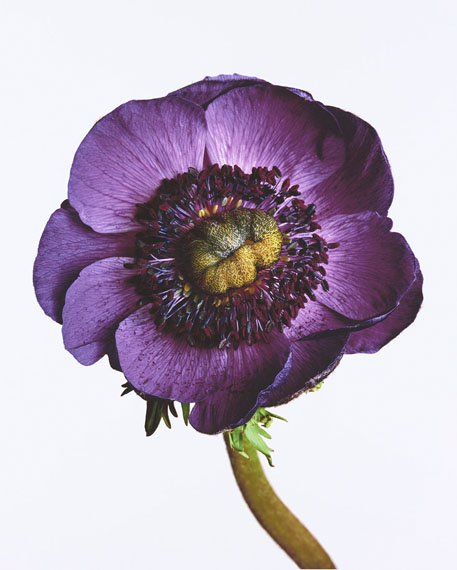 Anemone 'Inra Blue', New York, 2006
