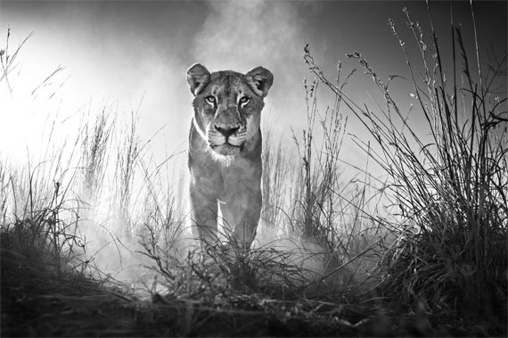 David Yarrow: Gladiator, 2015, 132 x 180 cm © David Yarrow
