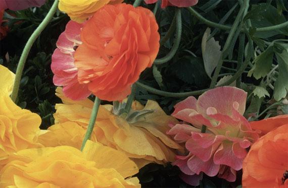 © Ernst HaasRanunculus, NY Botanical Gaderns, 1984