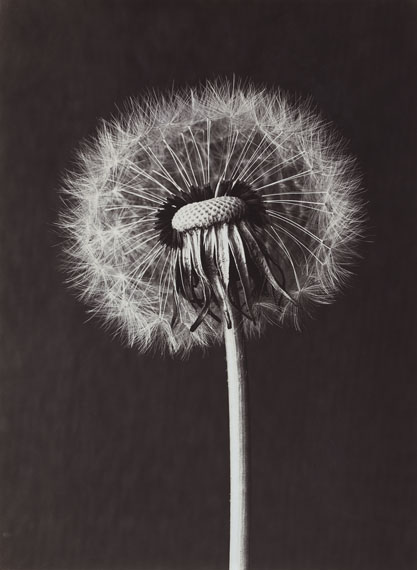 Paul Dobe: Common Dandelion, Taraxacum officinale, Seed head, half blown away, 9.5.1914© Estate Paul Dobe - Courtesy Die Photographische Sammlung/SK Stiftung Kultur Köln/Permanent loan Private collection