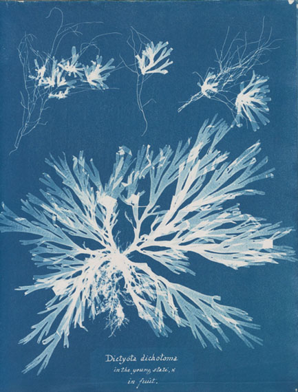 "Anna Atkins, ""Dictyota dichotoma, in the young state; and in fruit"" from Part XI of Photographs of British Algae: Cyanotype Impressions, ca. 1849, cyanotype."