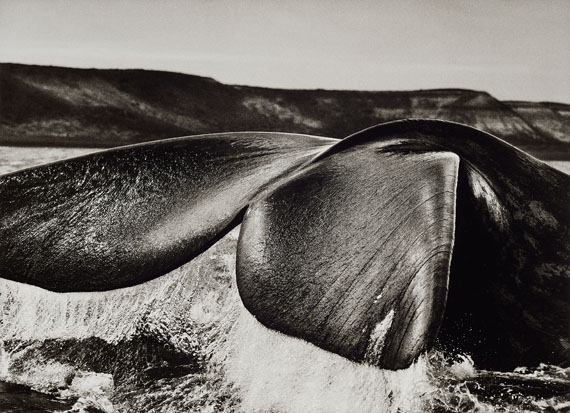 Sebastião SalgadoSouthern Right Whale, Patagonia, Argentina, 2004Späterer Gelatinesilberabzug36,8 x 50,8 cm (50 x 60,1 cm)Schätzpreis 9000-12000 EUR