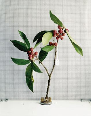 Sanna Kannisto, Moraceae: Ficus pertusa, 2001, C-Print, 94 x 74 cm, Courtesy Galerie La Ferronnerie, Paris, © Sanna Kannisto