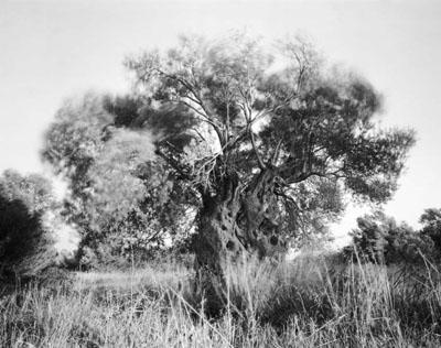Götterbäume
