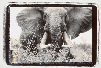 Peter BeardTSAVO NORTH – ATHI TIVA LUGGA, BULL ELEPHANT(Ca. 150-160 LBS/SIDE). 1965Later gelatin silver print, with collage50 x 75,5 cm (ca. 56 x 80 cm)