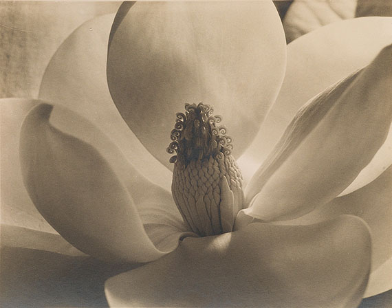 Lot 71Imogen Cunningham, Magnolia Blossom, Tower of Jewels, silver print, 1925. Estimate $25,000 to $35,000.