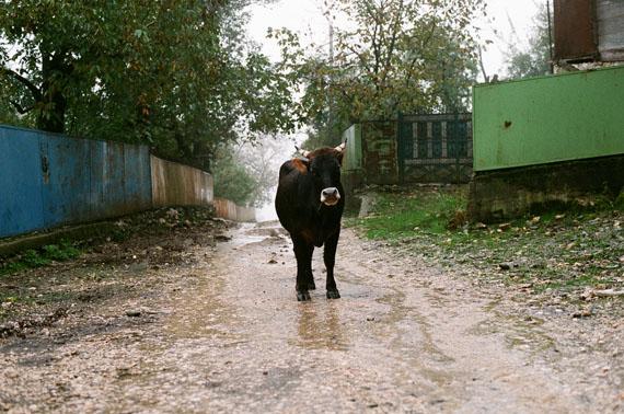 Ingeborg Strobl: Ochse Georgien, 2010 analoge Fotos, Dimension variabel