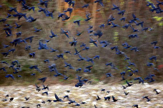 Carolyn Marks Blackwood, Birds, 2011