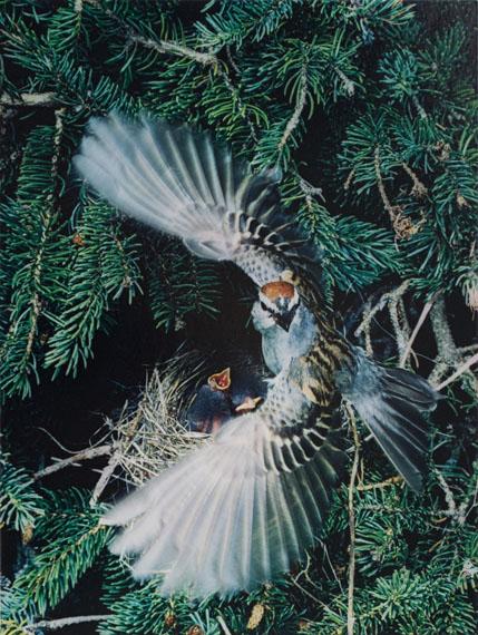 Eliot PorterChipping Sparrow, Great Spruce Head Island, MaineDye transfer print from Birds in Flight portfolio, 1979© 1990, Amon Carter Museum, Fort Worth, Texas, Bequest of Eliot PorterCourtesy of Daniel Greenberg and Scheinbaum & Russek Ltd., Santa Fe, New Mexico