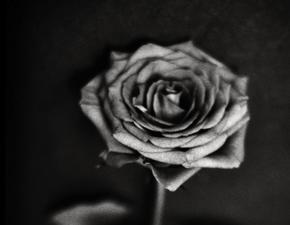 Barry Kornbluh One Rose, 2014