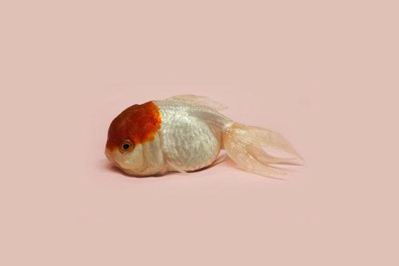 "Robert Zhao Renhui: ""World Goldfish Queen"""