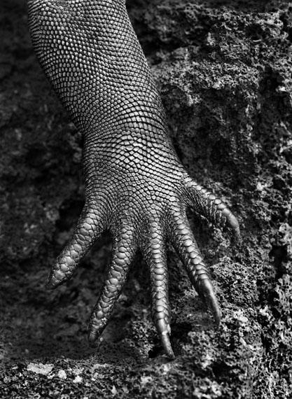 Marine iguana (Amblyrhynchus cristatus). Galápagos. Ecuador. 2004.© Sebastião Salgado / Amazonas images