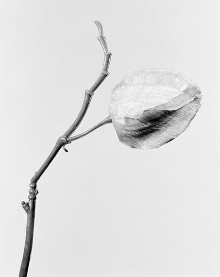 Physalis alkekengi, Lampionblume, 2014 © Robert Voit