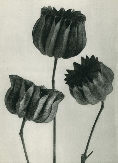 Abutilon Flowering Maple © Karl Blossfeldt Archiv / Stiftung Ann und Jürgen Wilde, Pinakothek der Moderne, München.