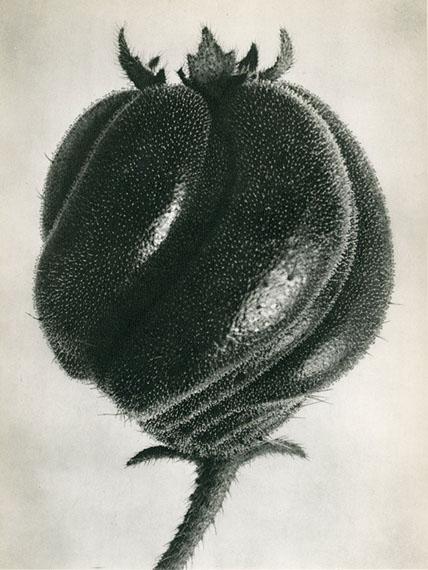 Blumenbachia Hieronymi Loasacaea © Karl Blossfeldt Archiv / Stiftung Ann und Jürgen Wilde, Pinakothek der Moderne, München.