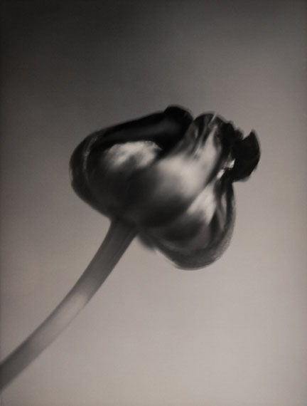 SILKE LAUFFSTulipBerlin, March 2001Edition of 25Silver Gelatin Print38 x 45 cm© Silke Lauffs / Courtesy of Bernheimer Fine Art Photography