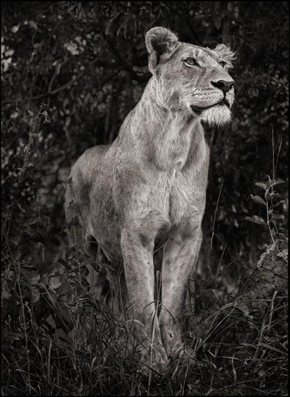 Lioness Against Dark Foliage, Serengeti, 2012© Nick Brandt. Courtesy of the artist and Edwynn Houk Gallery, New York and Zurich