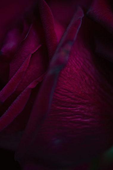 Mariano VivancoRed Rose 001, London, UK 2015