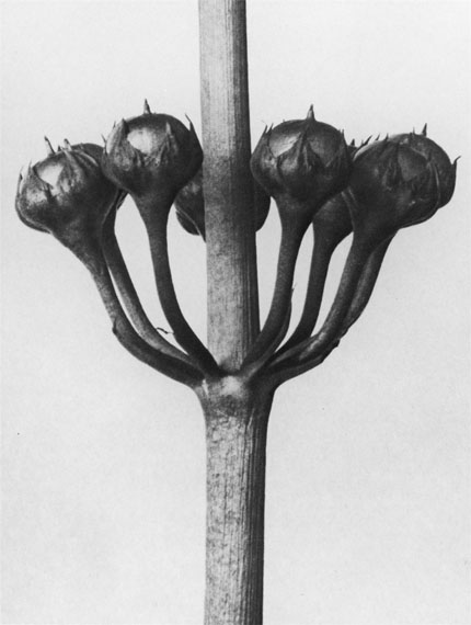 Sherrie Levine. Untitled, from the series: After Karl Blossfeldt. 1990. Gelatin silver print, 1990. 23,7 x 17,8 cm (25,2 x 20,3 cm)