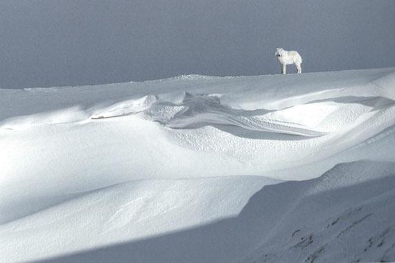 Vincent Munier: Polarwolf, Kanada, 2015