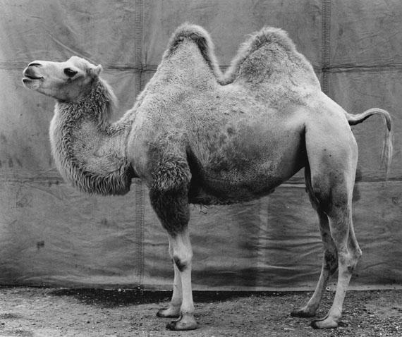 Balthasar Burkhard: Kamel (Camel), 1997 © Estate Balthasar Burkhard