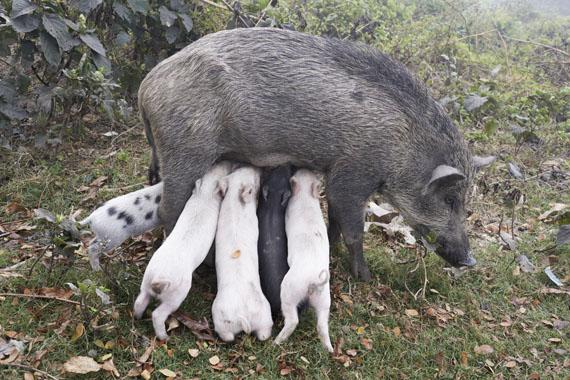 Wildschweinmutter, Kolkata, India 2014© Juergen Teller