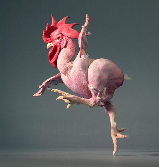 © Tim Flach, Featherless Chicken 2012