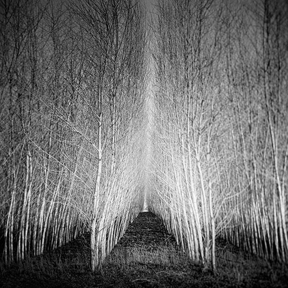 © SILVERFINEART, Populus Forest, 2015