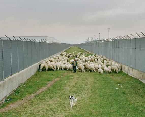 A shepherd grazes his herd in the industrial area behind the Gioia Tauro harbor, where the village of Eranova used to be before its demolition. © Martin Errichiello & Filippo Menichetti
