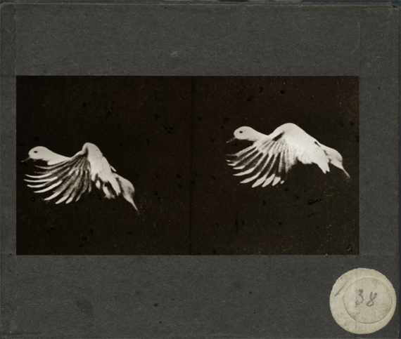 240. ETIENNE JULES MAREY Station Physiologique, 1887. The duck.Positive glass plate.