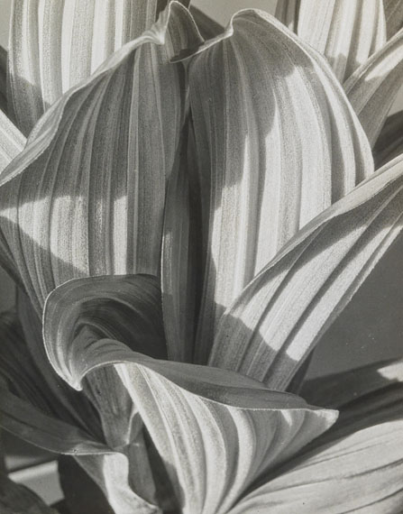 """Lot 65Imogen Cunningham  """"Glacial Lily"""" (False Hellebor), 1926gelatin silver print, printed in the 1930son the reverse photographer's label Mills College with typewritten title20.5 x 16.3 (25.5 x 20.3) cmEUR 5,000 to EUR 7,000"""