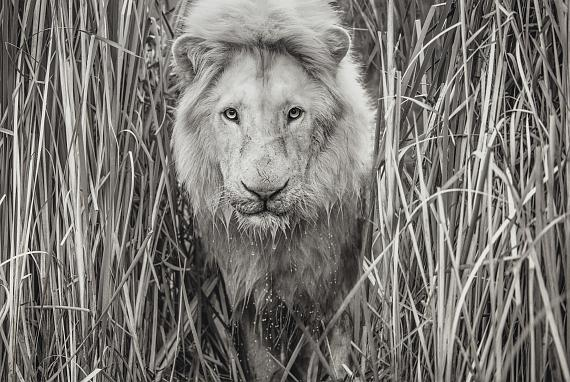 SOLD TO BENEFIT THE WHITE LION FOUNDATIONDAVID YARROW (B. 1966)Narnia, South Africa, 2019Gelatin silver print67.3/4 x 95.1/2 in.€20,000-30,000