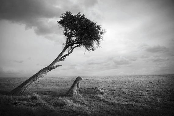 Björn Persson, Nirvana, Masai Mara, Kenya, 201727.5 x 41 inches - (other sizes & pricing available)Pigment print from a limited edition of 10$2,500 USD  (plus tax & framing)Robert Klein Gallery, Boston