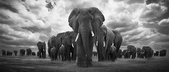 Björn Persson, Pride of Africa, Amboseli, Kenya, 201818 x 41 inches - (other sizes & pricing available)Pigment print from a limited edition of 10$2,500 USD  (plus tax & framing)Robert Klein Gallery, Boston