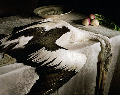 Pelican with turnip, 2006, archival print on cotton rag paper