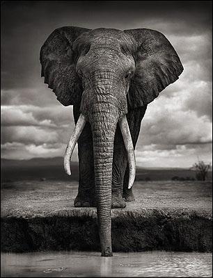 Elephant Drinking, Amboseli 2007© Nick Brandt